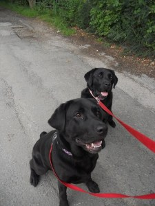 Labs well behaved on a walk at Aussie Dog Care.